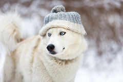 White husky in winter Royalty Free Stock Images