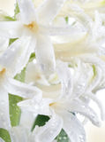 White hyacinth Stock Photography