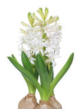 White hyacinth Stock Photo