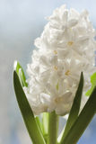 White  Hyacinth. Royalty Free Stock Photo