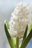 White  Hyacinth. Royalty Free Stock Photo