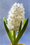 White  Hyacinth. Royalty Free Stock Image