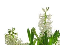 White hyacinth. Flower background isolated Stock Photos