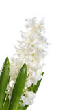 White hyacinth. White flowers of a hyacinth on a white background Royalty Free Stock Photo