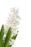White hyacinth Royalty Free Stock Photo