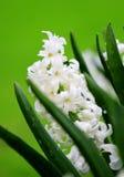 White hyacinth Stock Photography