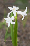 White hyacinth in bloom Royalty Free Stock Photography