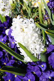 White hyacinth Stock Image