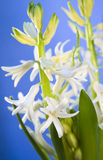 White hyacinth for Easter Royalty Free Stock Image