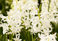 White hyacinth Stock Images