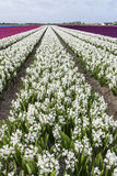 White Hyacinth Field Noord-Holland. Rows of white hyacinths in een agricultural field in Noord-Holland in the Netherlands Stock Photos