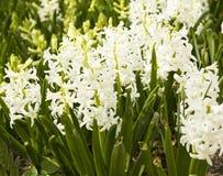 White hyacinth Royalty Free Stock Photos