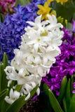 White Hyacinth Flower - Spring Perennial royalty free stock images