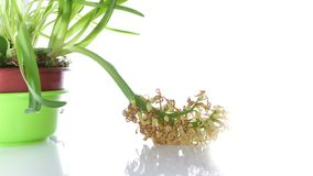 White Hyacinth Flower Bulb wither on white stock footage