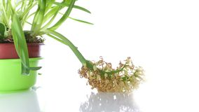 White Hyacinth Flower Bulb wither on white stock video