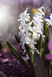 White hyacinth Stock Photos