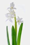 White hyacinth flowers. Beautiful white hyacinth flowers on a white background Royalty Free Stock Image