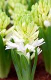 White Hyacinth Flowers. Stock Image