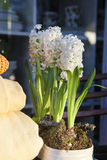 White hyacinth flowers Stock Photo
