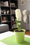 White hyacinth. Flowers in green pottery Royalty Free Stock Images