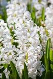 White hyacinth in garden Royalty Free Stock Image