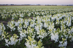 White Hyacinth Hyacinthus plants growth in the meadow. Royalty Free Stock Photo
