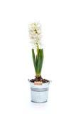 White hyacinth Stock Image