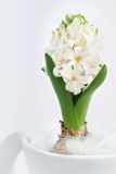 White hyacinth on neutral background Royalty Free Stock Photo