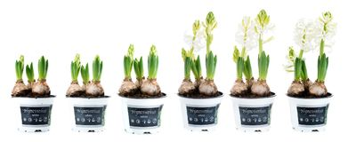 White hyacinth in six stages of growth royalty free stock photos