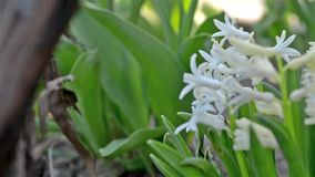 White hyacinth stock footage
