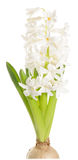 White hyacinth on white background Royalty Free Stock Images