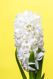 White hyacinth  on yellow background Stock Photos