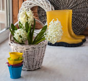 White hyacinths in a basket on a background of yellow gumboots Stock Photography