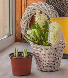 White hyacinths in a basket on a background of yellow gumboots Stock Photos