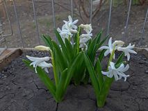 White hyacinths in bloom very beautiful flowers. Spring, background, plant, garden, green, nature, beauty, natural, floral, blossom, card, color, macro, leaf stock images