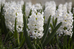 White hyacinths blooming. In spring garden Royalty Free Stock Photography