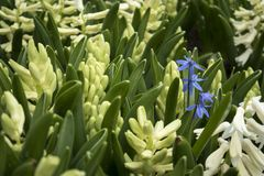 White hyacinths and blue muscari on the lawn in the botanical garden Royalty Free Stock Photos