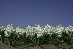 White hyacinths with blue sky royalty free stock image