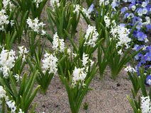 White hyacinths Stock Photos
