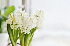 White Hyacinths in flowerpot. On a window sill closeup stock photos