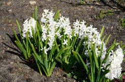 White hyacinths. Growing in the garden Stock Image