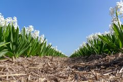 White hyacinths, Holland, the Netherlands stock photography
