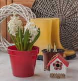 White hyacinths in a red pot Stock Photo