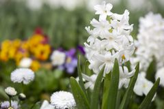 White Hyacinthus flower in the garden Royalty Free Stock Photo