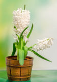 White Hyacinthus orientalis flower (common hyacinth, garden hyacinth or Dutch hyacinth) in a brown rustic (vintage) pot, close up Royalty Free Stock Images