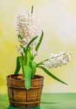 White Hyacinthus orientalis flower (common hyacinth, garden hyacinth or Dutch hyacinth) in a brown rustic (vintage) pot, close up Royalty Free Stock Image