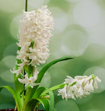 White Hyacinthus orientalis flower (common hyacinth, garden hyacinth or Dutch hyacinth), close up Royalty Free Stock Images