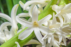 White Hyacinthus orientalis macro flowers, garden hyacinth bulbs Royalty Free Stock Image