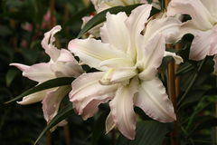 White hybrid lillies Royalty Free Stock Image