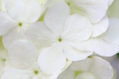 White Hydrangea Royalty Free Stock Photos